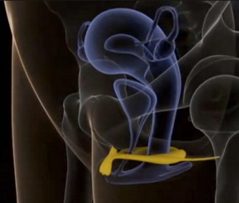 Clitoris- binnenwerk.jpg